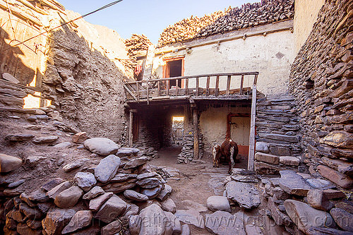 mud house - kagbeni village - annapurnas (nepal), annapurnas, cow, house, kagbeni, kali gandaki valley, village