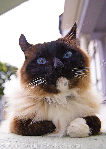 my neighbor's cat has pretty blue eyes (san francisco), blue eyes, fur, himalayan cat, whiskers