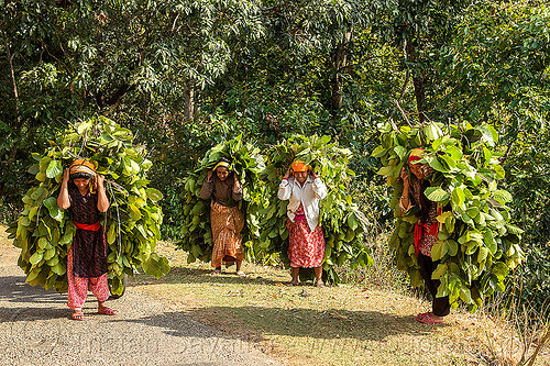 nepali women carrying bundles of leaves (nepal), carrying, leaves, nuwakot, road, walking, women