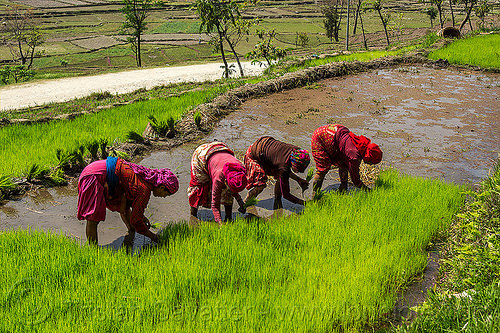 nepali women transplanting rice seedings (nepal), agriculture, rice paddies, rice paddy fields, terrace farming, terraced fields, transplanting, women, working