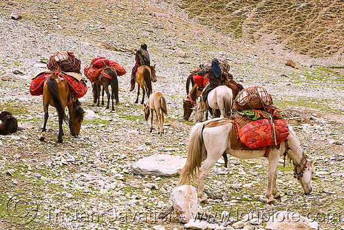 nomads with horses - drass valley - leh to srinagar road - kashmir, caravan, dras valley, drass valley, horse riding, horseback riding, kashmir, kashmiri gujjars, mountains, muslim, nomads, pack animal, pack horses, road, zoji la, zoji pass, zojila pass