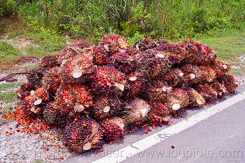 oil palm fruit, african oil palm, agroindustry, borneo, bunches, elaeis guineensis, malaysia, oil palm fruit, tenera