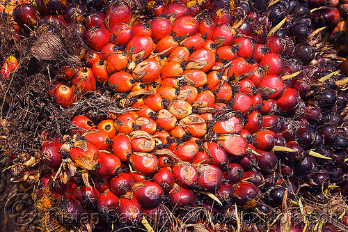 oil palm fruit, african oil palm, agroindustry, bunches, elaeis, elaeis guineensis, tenera