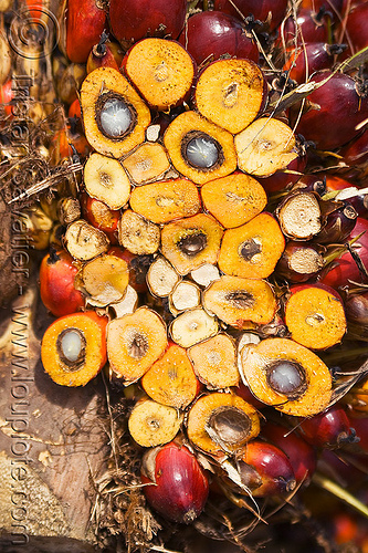 oil palm fruit, african oil palm, agroindustry, borneo, bunches, cut, elaeis guineensis, malaysia, oil palm fruit, palm kernel oil, section, tenera