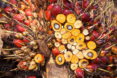 oil palm fruit, african oil palm, agroindustry, bunches, cut, elaeis, elaeis guineensis, kernel, palm kernel oil, section, tenera