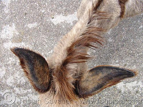 old-donkey - ears (bulgaria), asinus, burro, donkey, ears, equus, българия