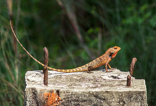 orange lizard with long tail - changeable lizard - eastern garden lizard (india), calotes versicolor, changeable lizard, crested tree lizard, eastern garden lizard, india, orange color, west bengal, wildlife