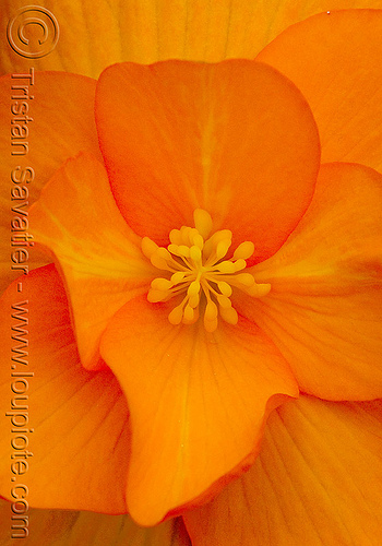 orange tropical flower, close-up, orange color, plant, tropical flower