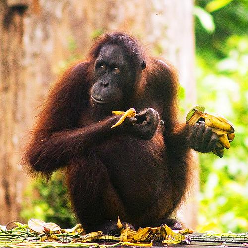 orangutan, ape, bananas, bornean orangutan, eating, great ape, pongo, pongo pygmaeus, primate, sepilok, sepilok orang utan sanctuary, sitting