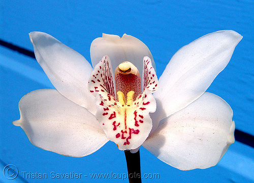 orchid flower - white orchid, blue, flower, orchid, white