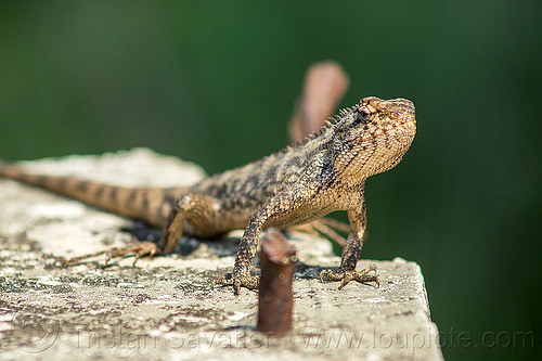 chameleon (india), chameleon, lizard, reptile, west bengal, wildlife