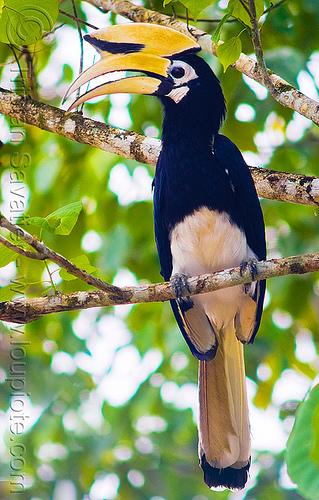 oriental pied hornbill bird, albirostris, anthracoceros, anthracoceros albirostris, branch, bucerotidae, casque, kinabatangan river, sukau, tree, wild bird