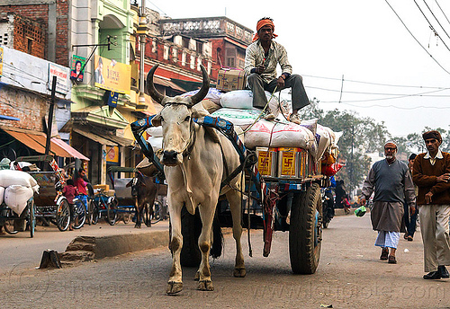 ox cart transporting freight (india), bags, cargo, carriage, cow, load, men, people, sacks, sitting, street, transport, varanasi, walking