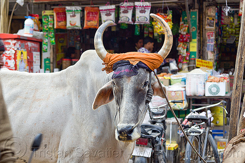 ox in the street, delhi, india, kankrej cow, nehru bazar, orange cloth, ox, paharganj, rope, shop