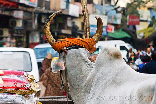 ox with golden horns, delhi, india, kankrej cow, ox, paharganj