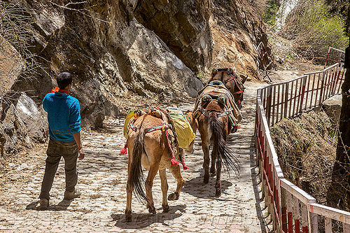 pack mules on the yamunotri trail (india), caravan, horses, men, pack animals, pack horses, people, treking, working animals, yamunotri trek