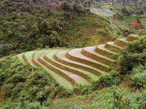paddy fields - terrace farming - between Tám Sơn and Yên minh, agriculture, rice paddies, rice paddy fields, terrace farming, terraced fields, vietnam