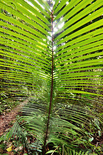palm leaf, arecaceae, gunung mulu national park, jungle, leaves, palm, palmae, plant, rain forest