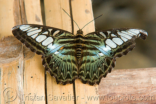 parthenos sylvia butterfly - clipper (laos), clipper butterfly, insect, wildlife