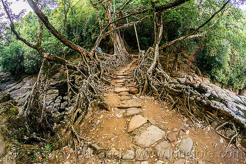 path on living root bridge - mawlynnong (india), banyan, east khasi hills, ficus elastica, footbridge, india, jingmaham, jungle, living root bridge, mawlynnong, meghalaya, rain forest, roots, strangler fig, trail, trees, wahthyllong