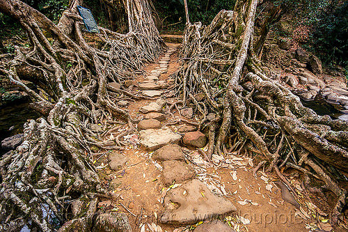 paved trail over living root bridge - mawlynnong (india), banyan, east khasi hills, ficus elastica, footbridge, india, jingmaham, jungle, living root bridge, mawlynnong, meghalaya, rain forest, roots, strangler fig, trail, trees, wahthyllong