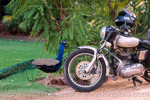 peacock and royal enfield bullet motorcycle - jaipur (india), bird, jaipur