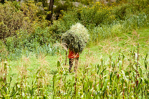 peasant carrying ball of hay, agriculture, carrying, corn, farming, field, green, iruya, man, noroeste argentino, paysan, peasant, quebrada de humahuaca, san isidro