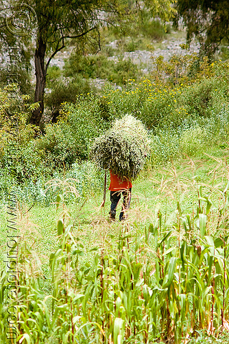 peasant carrying grass in field, agriculture, carrying, corn, farming, field, green, iruya, man, noroeste argentino, paysan, peasant, quebrada de humahuaca, san isidro