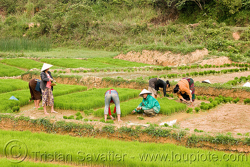 people replanting rice in paddy field (laos), agriculture, farmers, laos, paddies, planting, replanting, rice field, rice paddy fields, terrace farming, terraced fields, transplanting, workers, working