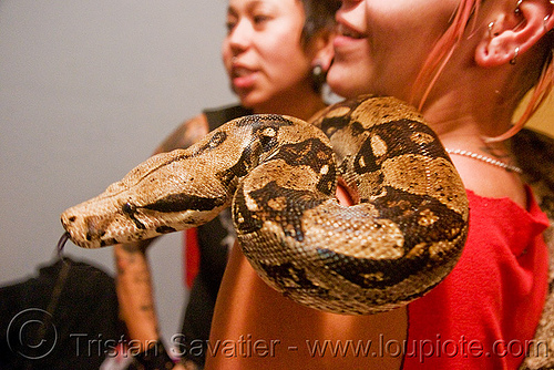 pet boa snake - melody and moa the boa, boa constrictor, head, melody, pet snake, sticking out tongue, sticking tongue out, women