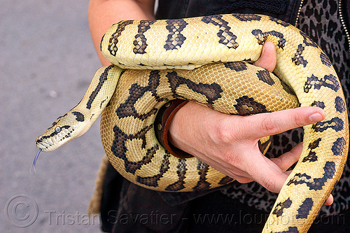pet python snake coiling around wrist, coiled snake, hand, pet snake, python, snake tongue, wrist
