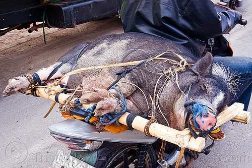 pig on motorbike, big, fat, flores, freight, load, lying down, motorbike, motorcycle, pig, riding, road, rope, sleeping, tied-up, transport, wood crate
