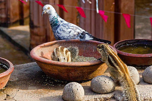 pigeon and squirrels eating seeds, bird food, bird seeds, clay vessel, eating, india, lucknow, pigeon, rodents, squirels, urban wildlife, wild bird