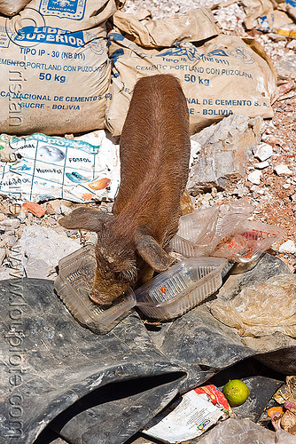 piglet foraging for food in a trash dump, bolivia, eating, foraging, garbage, pig, piglet, sucre, trash dump