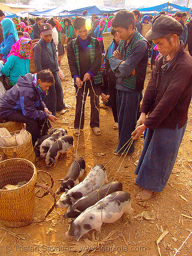 piglets at the market - vietnam, hill tribes, indigenous, men, mèo vạc, piglets, pigs, vietnam
