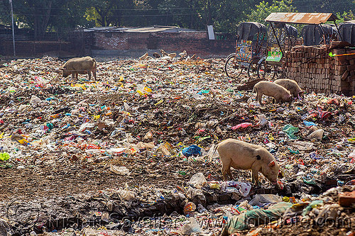 pigs foraging in trash dump (india), daraganj, dump, environment, garbage, landfill, pigs, plastic trash, pollution, rubbish
