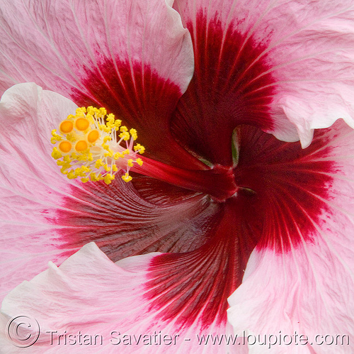 pink hibiscus flower - hibiscus rosa-sinensis, china rose, chinese hibiscus, close-up, conservatory of flowers, hibiscus rosa-sinensis, hibiskus, macro, pink, plant, shoe flower, tropical flower