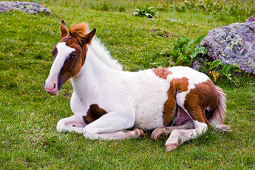 pinto foal lying down, feral horse, foal, grass field, grassland, lying down, pinto coat, pinto horse, resting, white and brown coat, wild horse