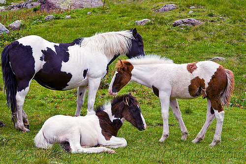 pinto horses - foals, baby horse, feral horses, foals, grass field, grassland, lying down, pinto coat, pinto horse, white and black coat, white and brown coat, wild horses
