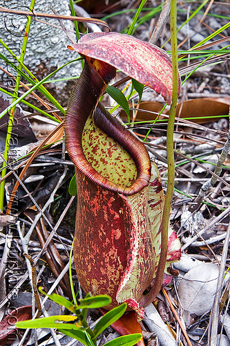 pitcher plant - nepenthes rafflesiana, bako, carnivorous plant, kuching, nepenthes rafflesiana, pitcher plant