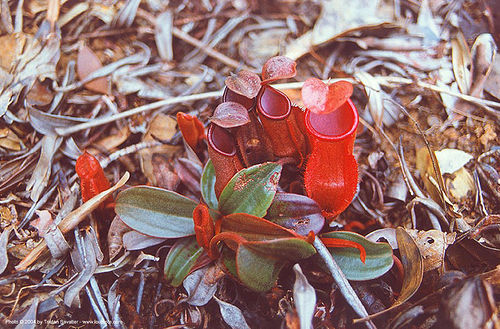 pitcher plants - nepenthes vieillardii (new caledonia), caledonie, calédonie, carnivorous plant, nouvelle caledonie, nouvelle-calédonie, pitcher plant, tropical plant