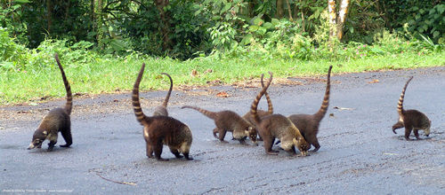 pizotes with tails up, antoon, costa rica, nasua narica, pizotes, procyonidae, procyonids, road, tails, tejón, white-nosed coati, wildlife