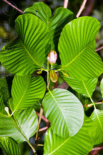 plant with round leaves - rubiaceae, gunung mulu national park, jungle, leaves, plant, rain forest, rubiaceae
