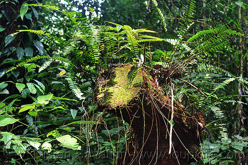 plants growing on dead tree, dead tree, dead wood, decaying wood, gunung mulu national park, jungle, plants, rain forest