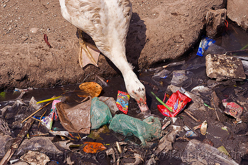 plastic trash floating, bird, environment, garbage, goose, indonesia, plastic trash, pollution, poultry, sewage, single-use plastics, tamansari