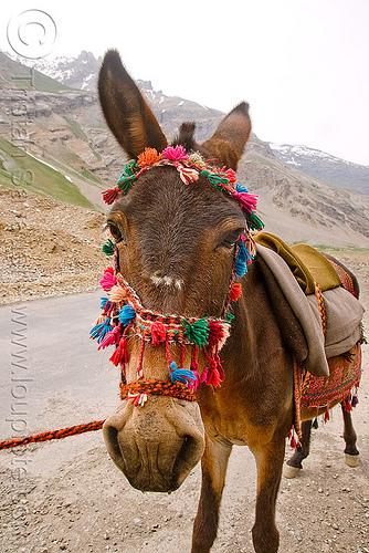 pony - leh to srinagar road - kashmir, bridle, horse, kashmir, kashmiri gujjars, mountains, muslim, nomads, pony, road, zoji la, zoji pass, zojila pass