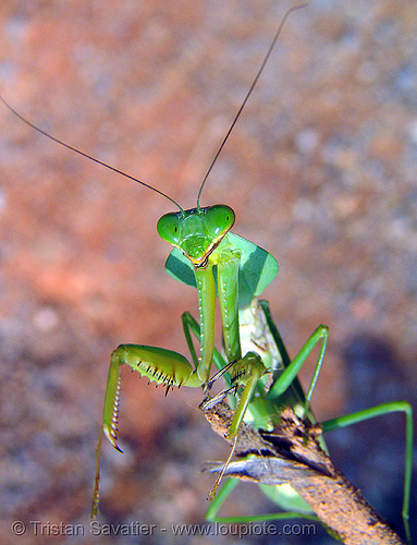 praying mantis, arthropoda, close up, giant shield mantis, green, insect, macro, mantidae, mantis religiosa, mantodea, praying mantid, praying mantis, wildlife