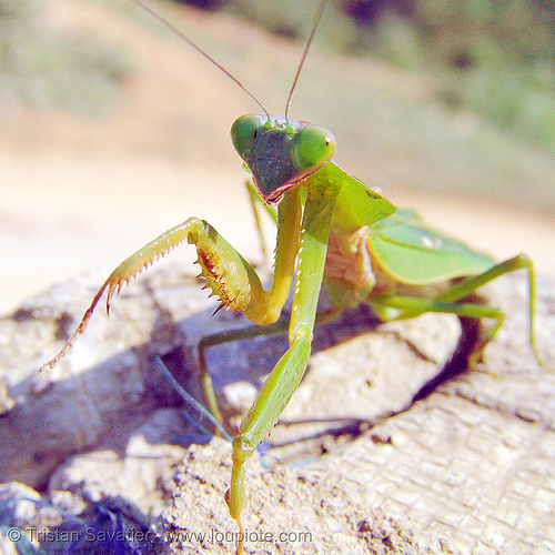 praying mantis - front legs, arthropoda, close up, giant shield mantis, green, insect, macro, mantidae, mantis religiosa, mantodea, praying mantid, praying mantis, wildlife