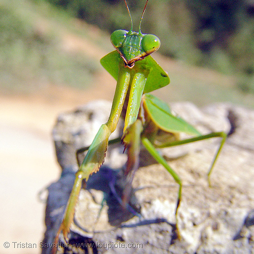 praying mantis on a rock, arthropoda, close up, giant shield mantis, green, insect, macro, mantidae, mantis religiosa, mantodea, praying mantid, praying mantis, wildlife