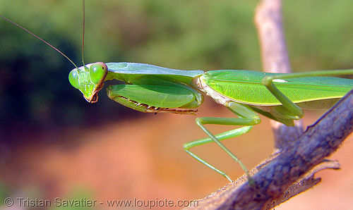 praying mantis on a stick, arthropoda, close up, giant shield mantis, green, insect, macro, mantidae, mantis religiosa, mantodea, praying mantid, praying mantis, wildlife